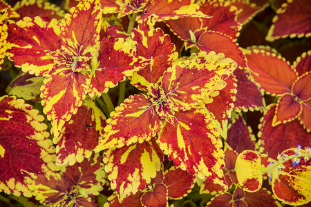 Red and yellow begonia plant. Natural background. photo