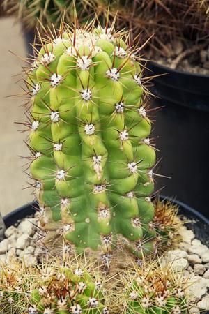san pedro: San Pedro cactus (Echinopsis pachanoi) in a flowerpot. Stock Photo