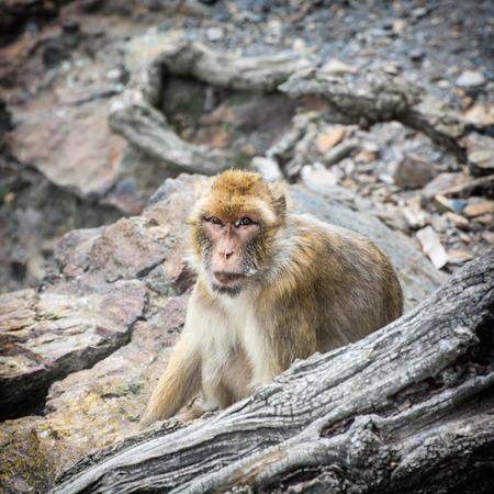 barbary ape: Barbary macaque (Macaca sylvanus). Animal theme.