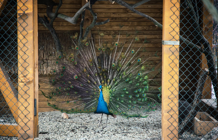 showoff: Portrait of a beautiful Peacock (Pavo cristatus). Animal theme.