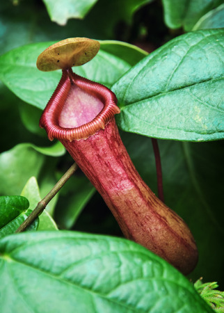 Nepenthes carnivorous plant. Tropical theme. photo
