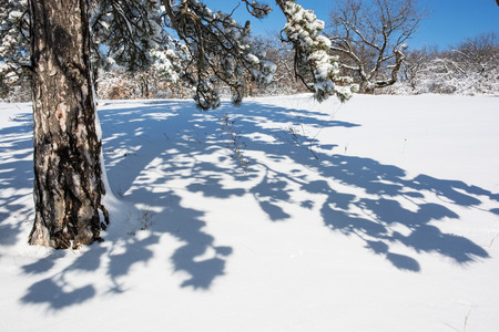 evergreen tree: Evergreen tree and shadow in white snow. Winter nature.