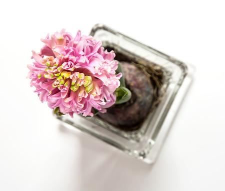 hyacinthus: Hermosa hyacinthus rosa en una maceta de cristal en el fondo blanco. Ver desde arriba. Foto de archivo