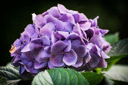 violette fleur: Close up photo de belle fleur pourpre. Th�me naturel. Banque d'images