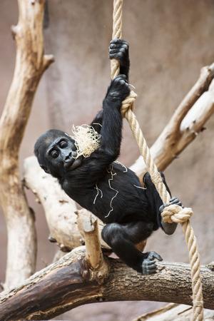 western lowland gorilla: Young Western lowland gorilla (Gorilla gorilla gorilla) playing with rope.