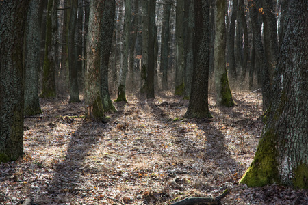 and backlight: Dense deciduous forest in backlight. Natural background.