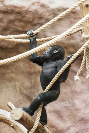 zoo youth: Young Western lowland gorilla (Gorilla gorilla gorilla) playing with rope. Animal theme.