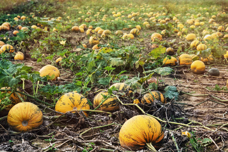 commercially: Field full of ripe pumpkins. Autumn harvest.