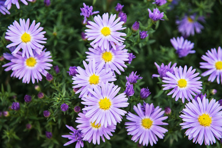 flowering plants: European michaelmas daisy (Aster amellus). Aster is a genus of flowering plants in the family Asteraceae.