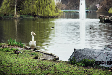 St. jamess park scene. Pelican, lake with fountain and and surrounding greenery. London, Great Britain. photo