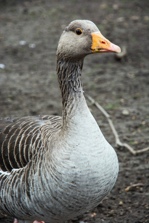 webbed feet: One domestic goose posing in front of camera. Animal theme. Stock Photo