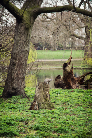 st jamess: Squirrel sitting on a tree stump in the St. jamess park, London, Great Britain. Natural background.
