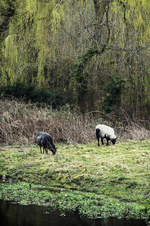 fauna: Dos ovejas que pastan en el campo Ingl�s. Tema de la granja. Fauna y flora.