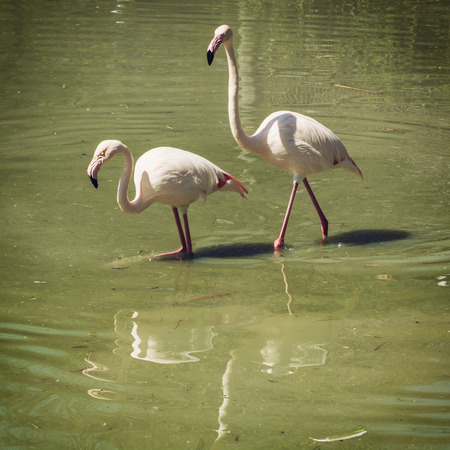 wading: Pair of Greater flamingo (Phoenicopterus ruber roseus) wading in water. Animal theme.