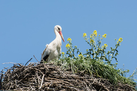 large bird: White stork (Ciconia ciconia) is a large bird in the stork family Ciconiidae. Its plumage is mainly white, with black on its wings.