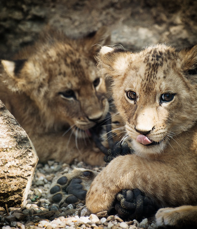 Barbary lion (Panthera leo leo). Two cute lion cubs. photo