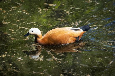 anatidae: Ruddy shelduck (Tadorna ferruginea) is a member of the duck, goose and swan family Anatidae. It is in the shelduck subfamily Tadorninae. Stock Photo
