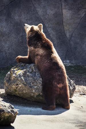 angry teddy: Brown bear (Ursus arctos arctos). Humorous animal scene.