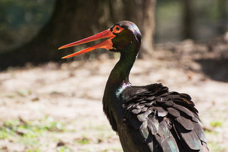 Black stork (Ciconia nigra) is a large wading bird in the stork family Ciconiidae. photo