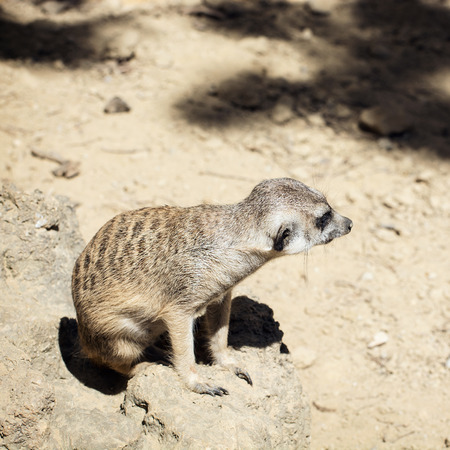 herpestidae: Cute Meerkat or Suricate (Suricata suricatta). Animal theme. Stock Photo