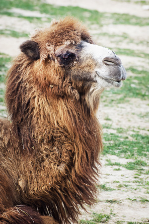shaggy: Shaggy Bactrian camel (Camelus bactrianus). Animal photo.