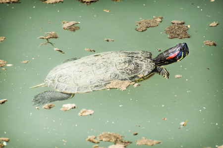 adaptable: Red-eared slider (Trachemys scripta elegans) in the water. Animal theme. Stock Photo