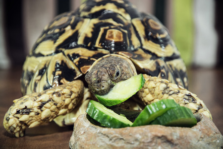 strictly: Leopard tortoise (Geochelone pardalis) is feeding. Animal theme.