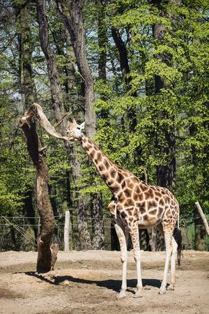 giraffa: One Rothschilds giraffe (Giraffa camelopardalis rothschildi). Animal theme. Stock Photo