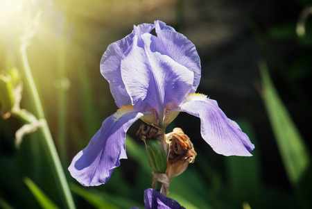 Purple iris flower in the spring meadow. photo