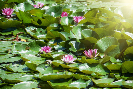 sunrays: Pink water lily in the sunrays. Natural background.