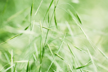 fertile: Field of grain. Detail photo. Fertile field. Agricultural theme. Stock Photo