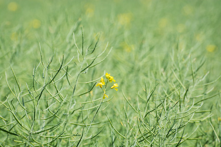 Rapeseed field. Agricultural theme. Beauty in nature. Stock Photo