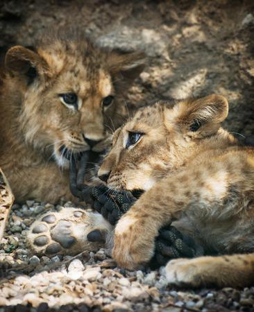 Barbary lion (Panthera leo leo). Two cute lion cubs. Animal theme.