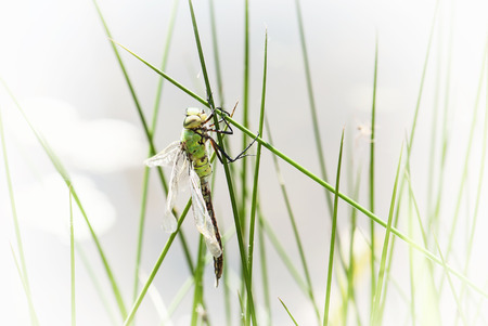 anisoptera: Dragonfly is an insect belonging to the order odonata, suborder anisoptera. Insect theme. Stock Photo