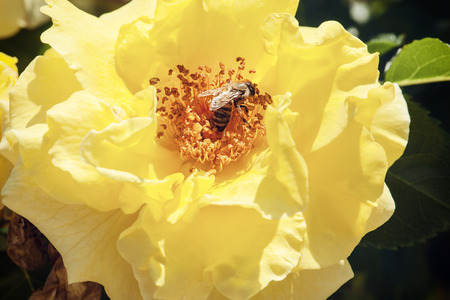 mellifera: Diligent honeybee (Apis mellifera) pollinates the yellow rose. Macro photo.