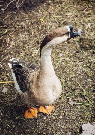 farmyard: One domestic goose on the farmyard. Animal theme. Stock Photo