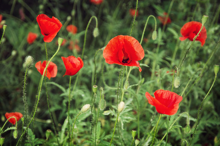 papaver rhoeas: Papaver rhoeas (Corn poppy, Corn rose, Field poppy, Flanders poppy, Red poppy, Red weed, Coquelicot) in the summer meadow. Natural background.