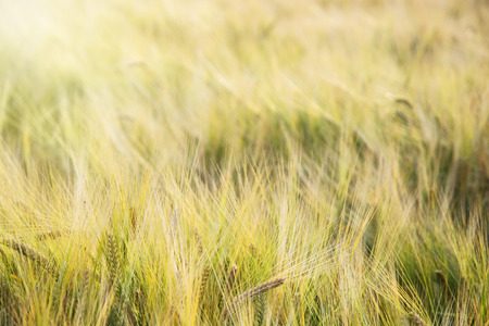 wheatfield: Yellow wheat field in the sunset. Agricultural landscape. Detail photo.