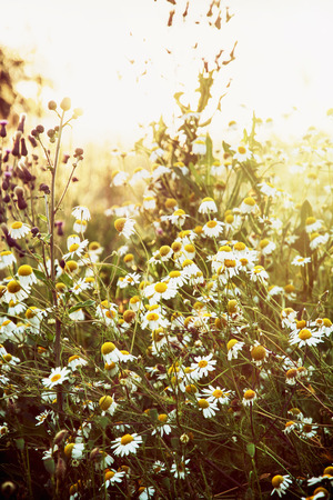 back light: Daisy meadow in sunset. Flowers in the back light.