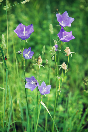 bluebell: Beautiful meadow bluebell flower in the forest. Stock Photo