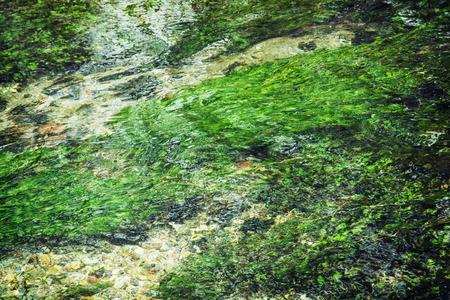 plantas acuaticas: El agua clara que fluye en el arroyo. Plantas de agua verde. Foto de archivo