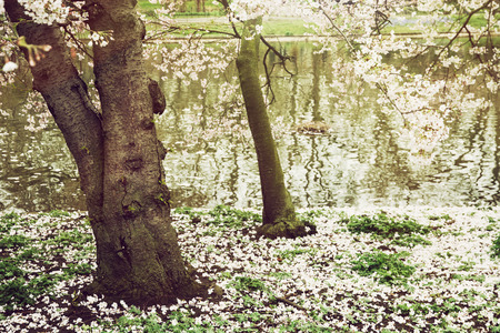 st jamess: Flowering tree and lake in the St. jamess park, London. Natural theme.