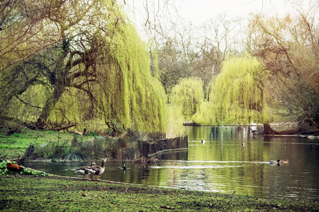 st jamess: St. jamess park scene. Beautiful trees, waterfowl and lake. London, Great Britain.