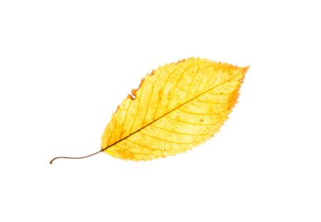 beech leaf: Isolated yellow beech leaf. Autumn theme.