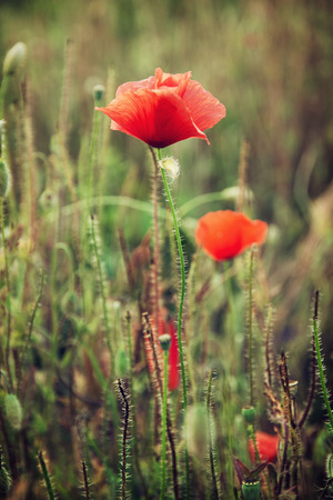 papaver rhoeas: Papaver rhoeas (Corn poppy, Corn rose, Field poppy, Flanders poppy, Red poppy, Red weed, Coquelicot) in the summer meadow. Detail scene. Vertical composition. Stock Photo
