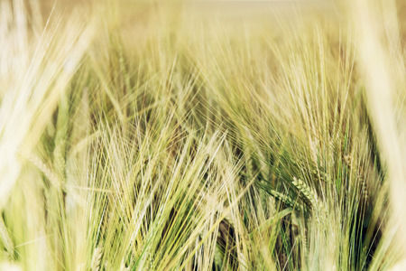 wheatfield: Detail photo of yellow wheat field. Agricultural theme. Natural background.
