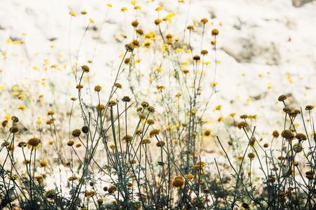 matricaria recutita: Matricaria Chamomilla (Matricaria recutita), comunemente nota come la camomilla (camomilla anche farro), camomilla tedesca, camomilla ungherese (Kamilla), camomilla selvatica o mayweed profumati, � una pianta annuale della famiglia delle Asteraceae composite. Archivio Fotografico
