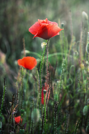 papaver rhoeas: Beautiful red corn poppy flowers (Papaver rhoeas). Stock Photo