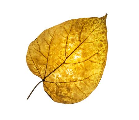 tilia: Dry tilia leaf isolated on white background. Seasonal theme.