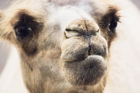 cartage: Bactrian camel (Camelus bactrianus) humorous closeup portrait. Animal background.